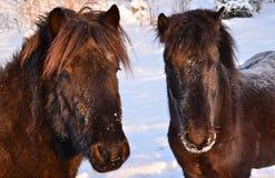 Icelandic horses Stock Photography