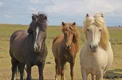 Free Icelandic Horses Stock Photography - 333232