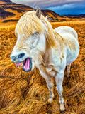 Horse Laugh. Icelandic horses abound on the island. This horse was coughing, but it looks more like a laugh Royalty Free Stock Photography