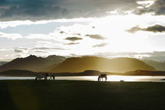 Icelandic Horses against night landscape Stock Photos