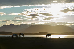 Icelandic Horses against summer night landscape Royalty Free Stock Photography