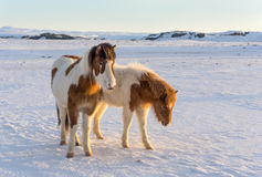 Icelandic Horses. Beautiful Icelandic horses roaming the countryside in winter Stock Images