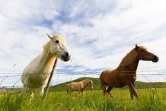 Icelandic horses behind fence Stock Image