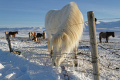Icelandic horses behind a fence Royalty Free Stock Images