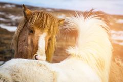 Icelandic horses close up on head farm animal Stock Images