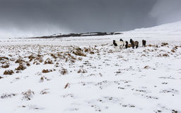 Icelandic horses in a countryside with snow storm in backgroung. Wild icelandic horses in a countryside with snow storm in backgroung, Iceland Royalty Free Stock Photos