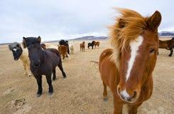 Icelandic Horses Royalty Free Stock Image