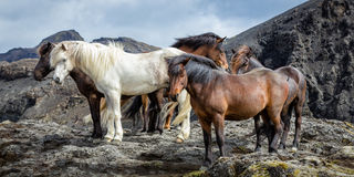 Icelandic horses. A drove of Icelandic horses standing on a rock Royalty Free Stock Photos