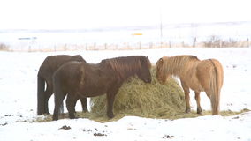 Icelandic horses eat hay in wintertime. Two Icelandic horses eat hay in wintertime stock footage