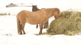Icelandic horses eat hay in wintertime stock video