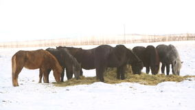 Icelandic horses eat hay in wintertime stock video footage