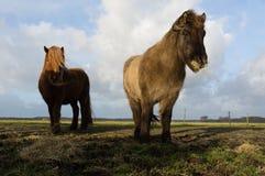 Icelandic horses feeding Stock Images