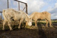 Icelandic horses feeding Royalty Free Stock Images
