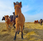 Icelandic horses Stock Photos