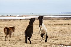 Icelandic horses fighting against each other Royalty Free Stock Photography