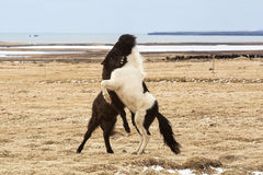 Icelandic horses fighting against each other Royalty Free Stock Photo