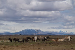 Icelandic horses in front of mountain Stock Photo
