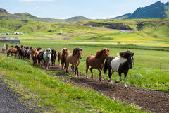 Icelandic horses galloping down a road, rural landscape, Iceland Royalty Free Stock Photography