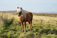 Icelandic Horses Royalty Free Stock Photo