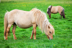 Icelandic horses graze on a green meadow Royalty Free Stock Photos