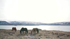 Icelandic horses graze lake. Icelandic horses graze near the lake stock footage