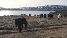 Icelandic horses graze near the lake.  stock video