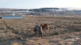 Icelandic horses graze in the valley close up. Icelandic horses graze in valley close-up stock video