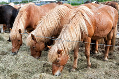 Icelandic horses grazing Royalty Free Stock Images