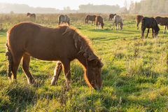 Icelandic horses grazing in late afternoon sunlight. Icelandic horses with the mane, tail and coat full of thistle burdocks grazing in a Dutch nature reserve. It Royalty Free Stock Photos