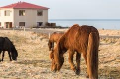 Icelandic horses grazing, lifting a leg with horseshoe visible Stock Image