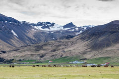 Icelandic horses grazing with mountains behind. Beautiful Icelandic horses with some farm houses and a church in the background. Snow on top of the mountains and Stock Image