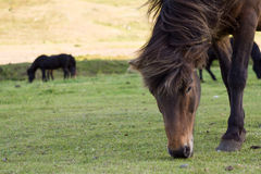 Icelandic horses. Grazing, North Iceland Stock Photos