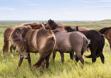 Icelandic horses Royalty Free Stock Images