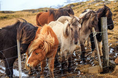 Icelandic horses Stock Image
