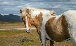 Icelandic horses Iceland and freedom