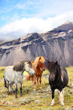 Icelandic Horses on Iceland nature landscape. Beautiful Icelandic horse standing on field in nature landscape with mountains. Iceland travel and tourism Stock Photos