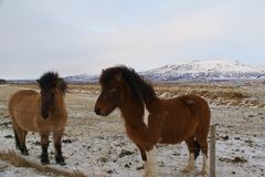 Icelandic Horses in Iceland Royalty Free Stock Photo