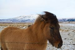 Icelandic Horses in Iceland Stock Images