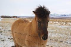 Icelandic Horses in Iceland Stock Image