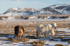 Icelandic horses. The Icelandic horse is a breed of horse developed in Iceland. A group of Icelandic Ponies in the pasture. stock image