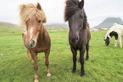 Icelandic Horses. Light and dark brown Icelandic Horses Royalty Free Stock Images