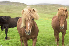 Icelandic Horses Royalty Free Stock Images