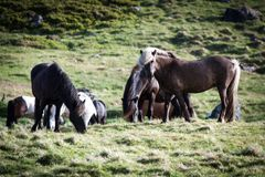 Horses eating grass in Iceland Stock Photo