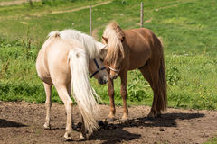 Icelandic horses making friends royalty free stock image