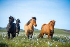 Icelandic horses in a meadow Royalty Free Stock Images