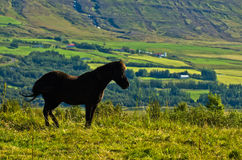 Icelandic horses on a meadow over the Akureyri fjord at sunny summer day Royalty Free Stock Photo