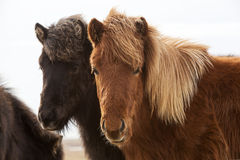 Icelandic horses on a meadow Stock Photography