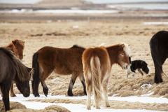 Icelandic horses on a meadow Stock Images