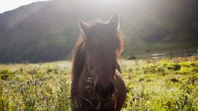 Icelandic horses. Horses in the mountains in Iceland Royalty Free Stock Photography