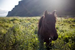 Icelandic horses. Horses in the mountains in Iceland Stock Photo